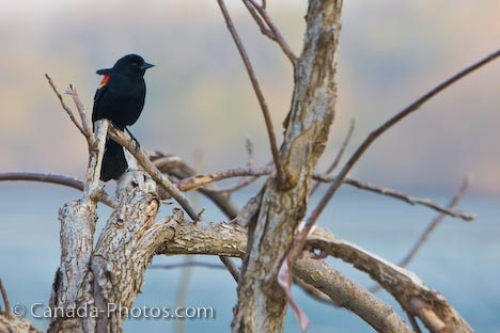 Photo: Red Winged Blackbird Picture Niagara Falls River Ontario