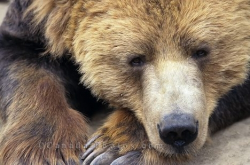 Photo: Resting Grizzly Bear