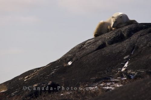 Photo: Resting Polar Bear Churchill Manitoba