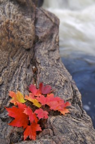 Photo: Rock Autumn Leaf Display River Bank Ontario