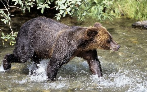 Photo: Black Bear In Stream