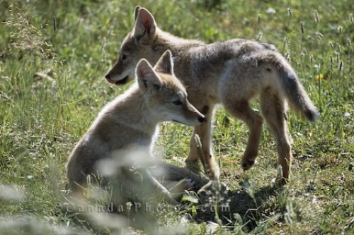 Photo: Cute Coyote Pups