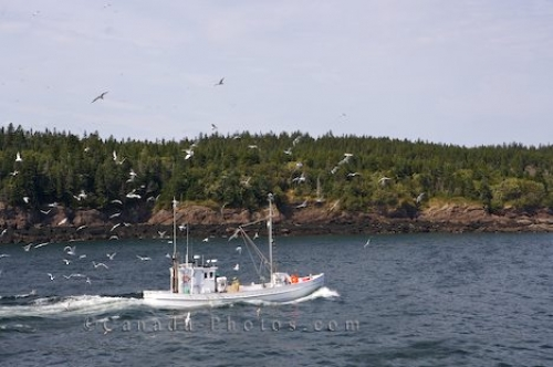 Photo: Seagulls Fishing Boat New Brunswick
