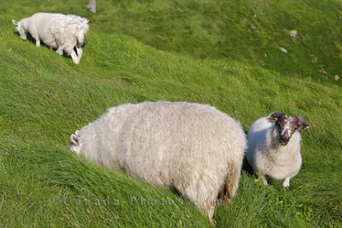 Photo: Sheep Grazing Cape St Marys Newfoundland