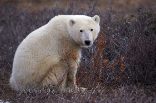 Photo: Sitting Polar Bear Churchill Manitoba