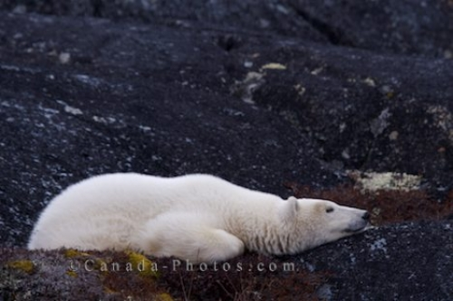 Photo: Sleeping Polar Bear Hudson Bay Churchill Manitoba
