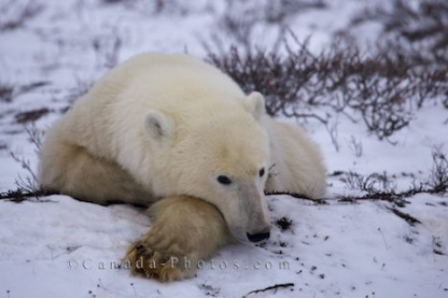 Photo: Sleepy Polar Bear Churchill Manitboa