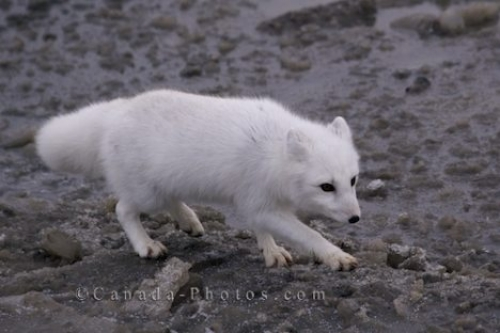 Photo: Snow White Arctic Fox Picture