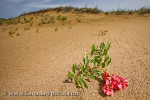 Photo: Spirit Sands Hardy Wildlflower Spruce Woods Provincial Park