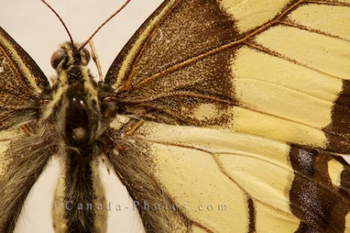 Photo: Swallowtail Butterfly Close Up Picture Butterfly Pavilion Newfoundland