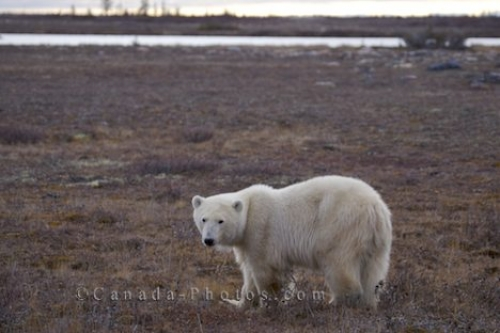 Photo: Symbol Of Global Warming Polar Bear Picture