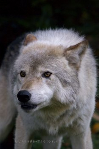 Photo: Timber Wolf Picture