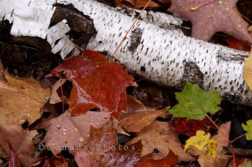Photo: Tree Branch Autumn Algonquin Provincial Park
