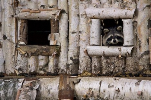 Photo: Tree House Raccoon Parc Omega Outaouais Quebec