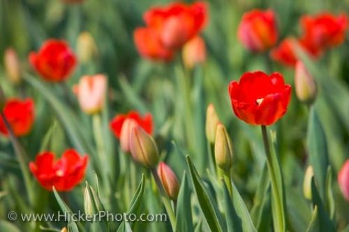 Photo: Tulip Garden Parliament Hill Ottawa City Ontario