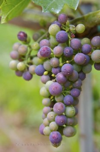 Photo: Vineyard Grapes