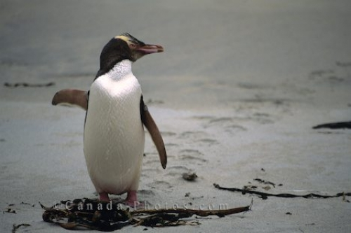 Photo: Waddling Yellow Eyed Penguin New Zealand