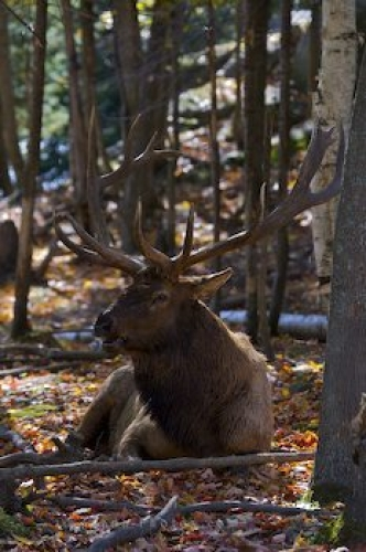 Photo: Wapiti Bull Picture