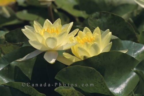 Photo: Water Lilies Picture