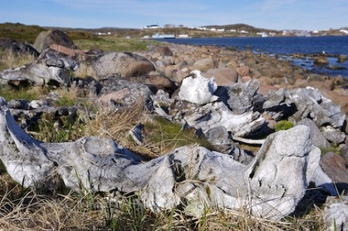 Photo: Whales Bones Red Bay Southern Labrador