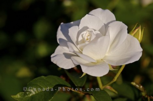 Photo: White Rose Flower Picture Montreal Quebec