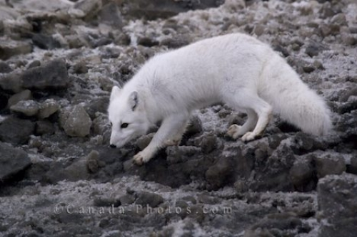 Photo: Winter Arctic Fox Picture