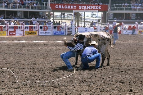 Photo: Wrestling Steer Calgary Stampede