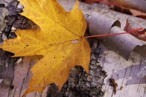 Photo: Yellow Autumn Leaf Algonquin Provincial Park