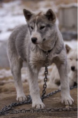 Photo: Young Canadian Eskimo Dog Picture