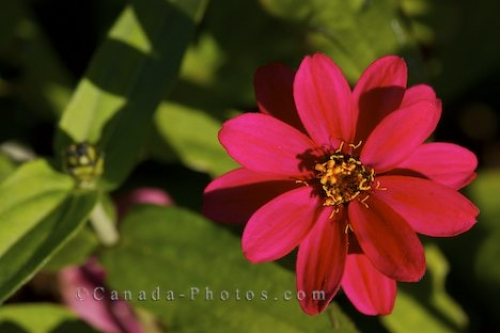 Photo: Zinnia Flower Picture Montreal Botanical Garden Quebec