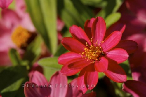 Photo: Zinnia Plant Montreal Botanical Garden