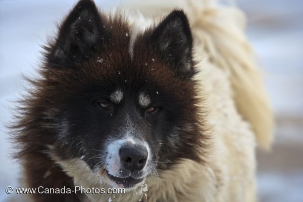 Photo: Arctic Canadian Eskimo Dog