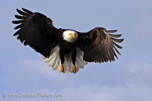 Photo: Bald Eagle Bird Picture