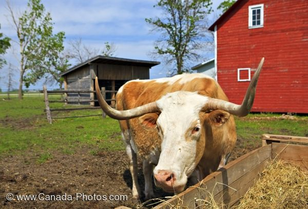 Photo: Bull Grazing By The Farm Barn Steinbach Manitoba