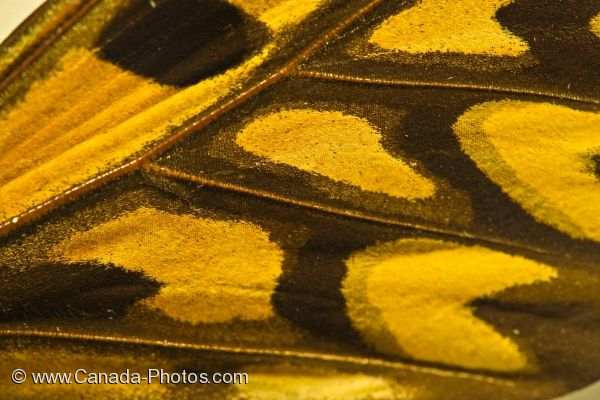 Photo: Butterfly Wing African Giant Swallowtail