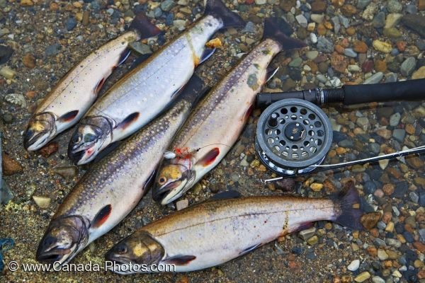 Photo: Speckled Trout Main Brook