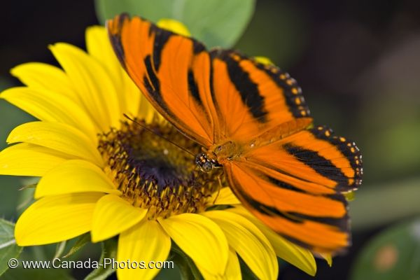 Photo: Colorful Tropical Butterfly Newfoundland Insectarium And Butterfly Pavilion