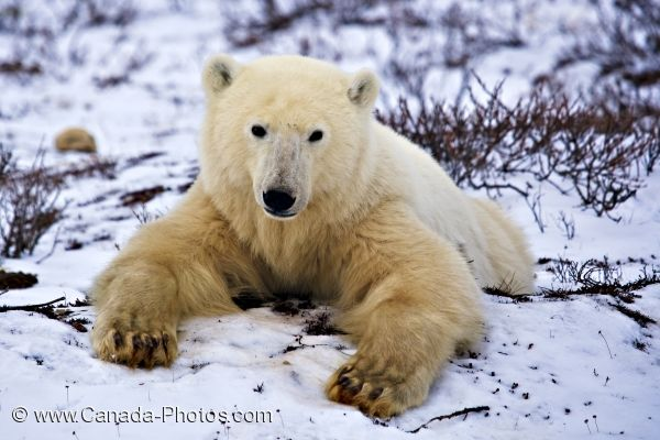 Photo: Cute Arctic Marine Mammal Churchill Manitoba