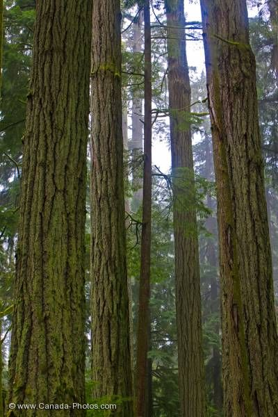 Photo: Douglas-fir Trees Cathedral Grove Rainforest Vancouver Island