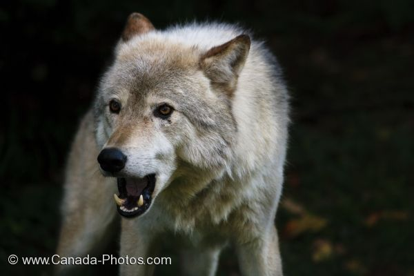 Photo: Mean Looking Timber Wolf Picture Parc Omega Outaouais Quebec