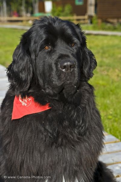 Photo: Newfoundland Dog Southern Labrador