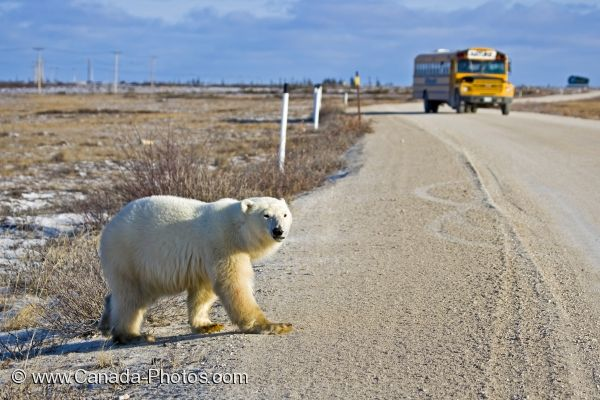 Photo: Polar Bear Bus Tour Churchill Manitoba