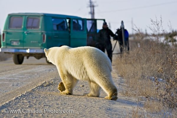 Photo: Polar Bear Crossing Near Tourists Churchill Manitoba
