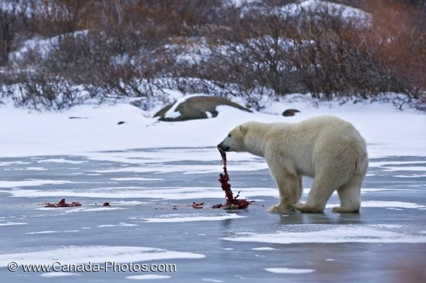 Photo: Polar Bear Lunch Hudson Bay Churchill Manitoba