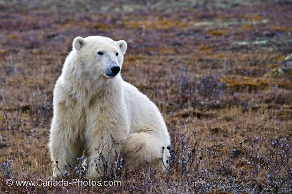 Photo: Posing Polar Bear Barren Tundra Churchill Manitoba