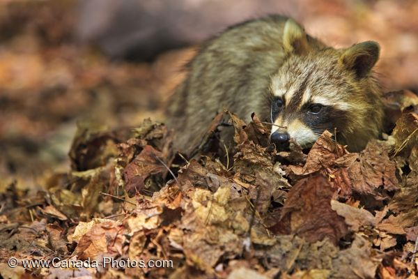 Photo: Raccoon In Leaves George Lake