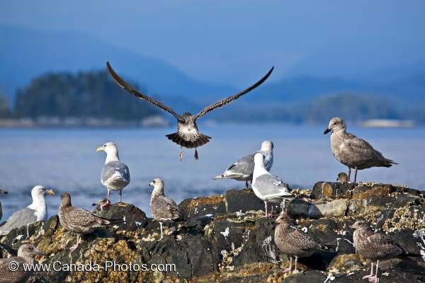 Photo: Seagulls Scenic Weyton Passage British Columbia Coast