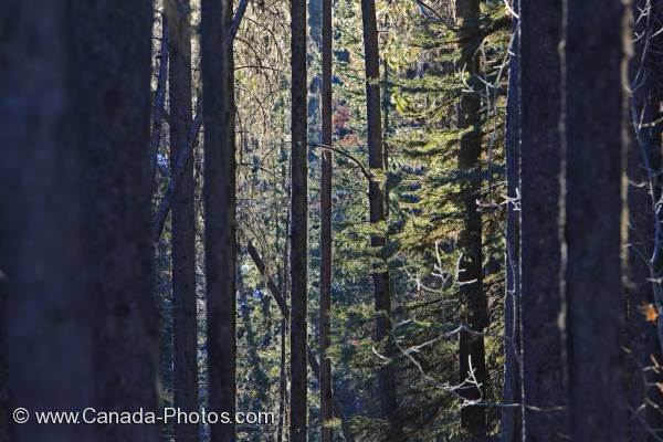 Photo: Sunlight Winter Forest Banff National Park