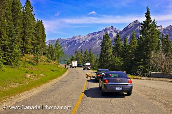 Photo: Wildlife Traffic Jam Banff National Park Alberta